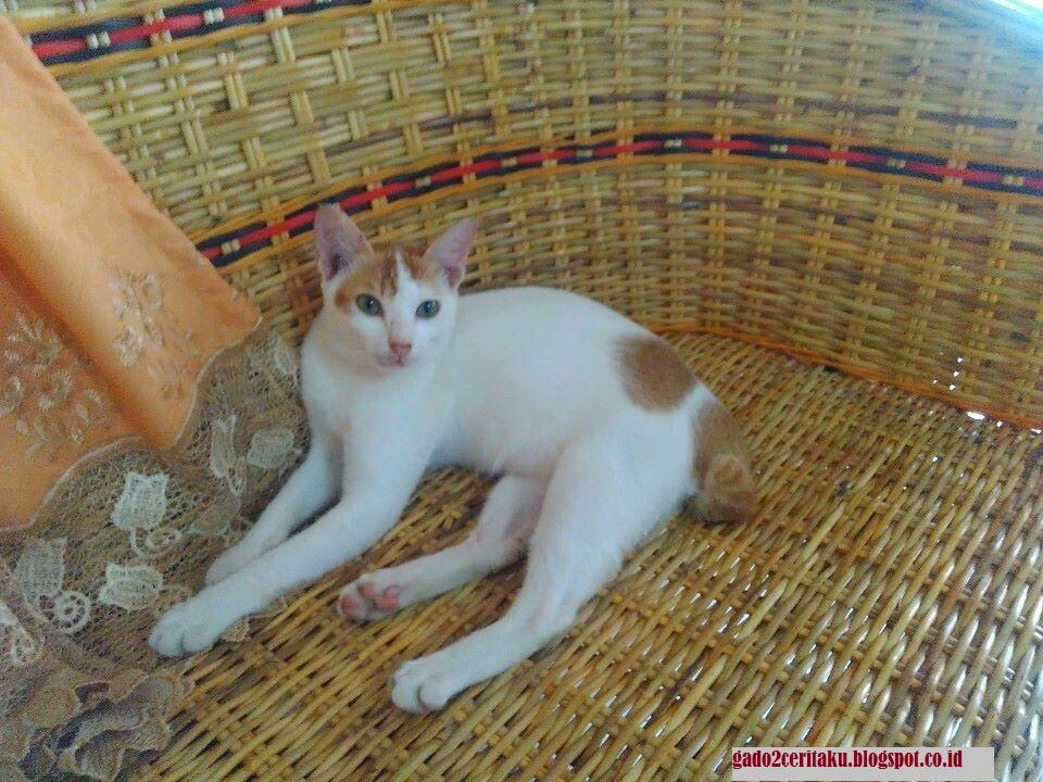 Lebih Dalam Mengenal Kucing Kampung Gado Gado Cerita Saya