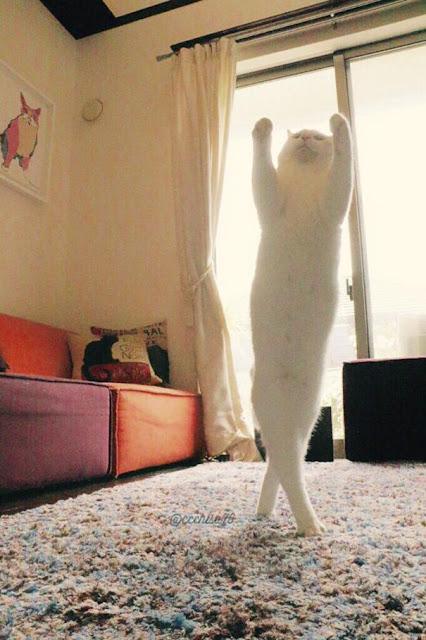 Con người cũng chưa chắc đã múa ballet dẻo như em mèo này
