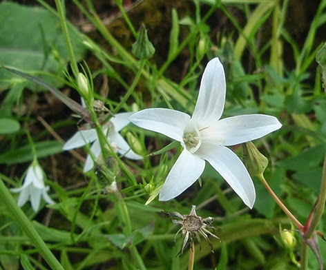 Campanula patula color blanco