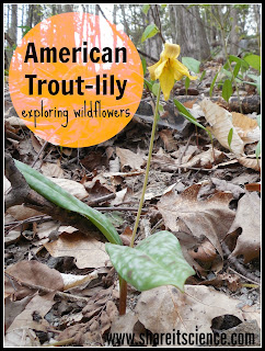 http://www.shareitscience.com/2016/05/wildflowers-american-trout-lily.html