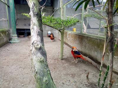 kandang ternak ayam pheasant