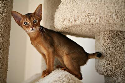 Kediler Nasıl Duyar