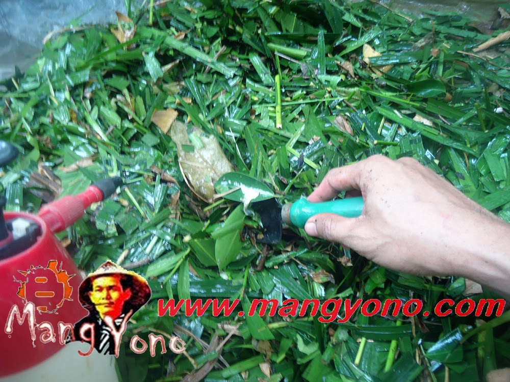 Photo 2. Penyemprotan bahan organik