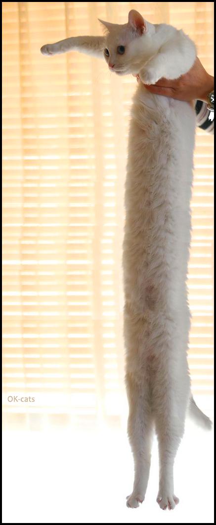 Photoshopped Cat picture • White long Cat is fuck*ng looooooooooong!