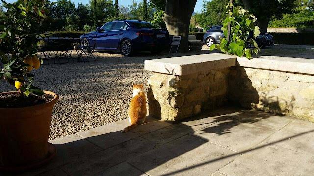 Katze sitzt nebem Zitronenbaum auf der Terrasse und schaut auf Alfa Romeo Giulia Super in Mallemort