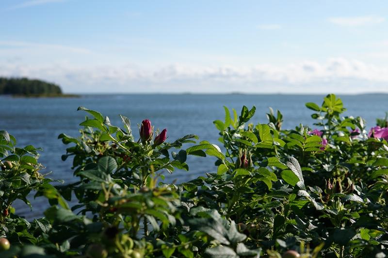 Ruusu, rose, archipelago