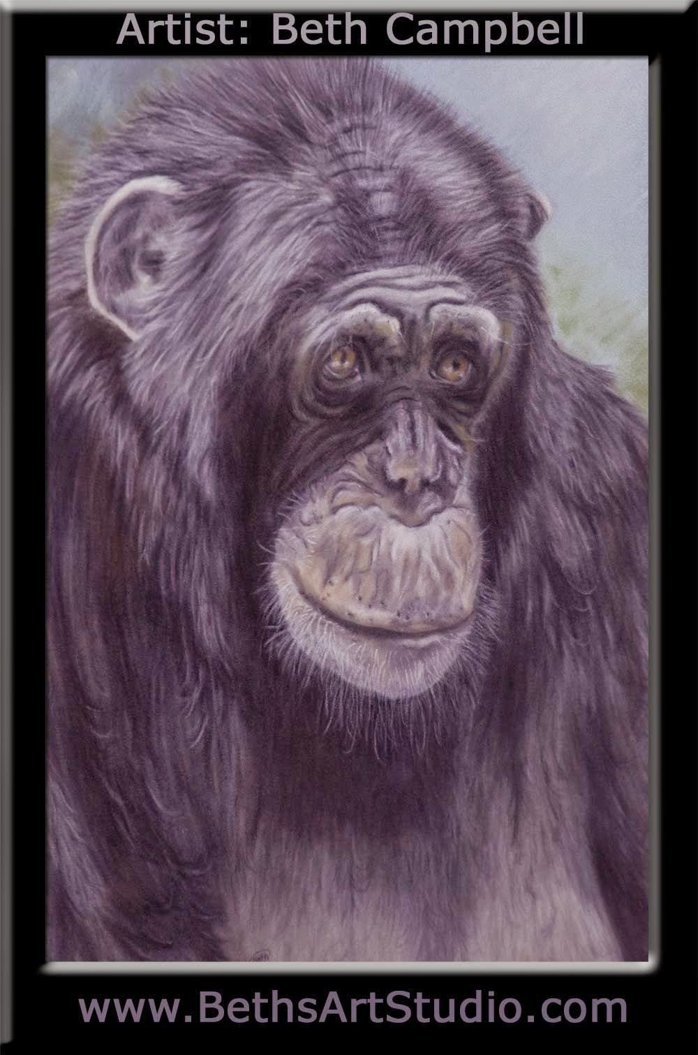 cimp chimpanzee pastel painting suede board Beth Campbell wildlife painting