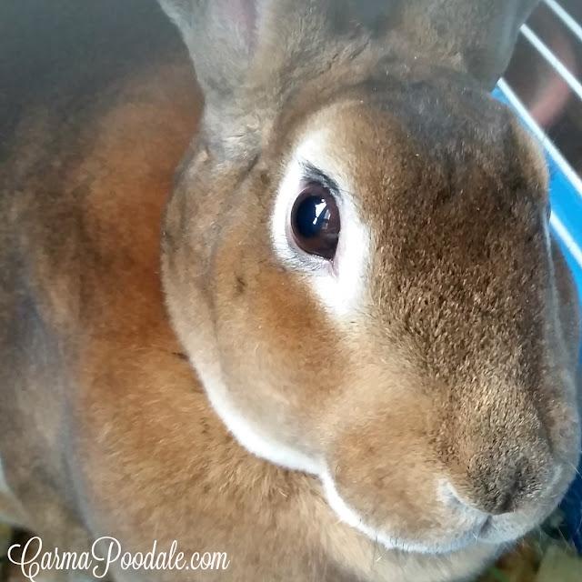 Rex rabbit named Sherman -carmapoodale.com