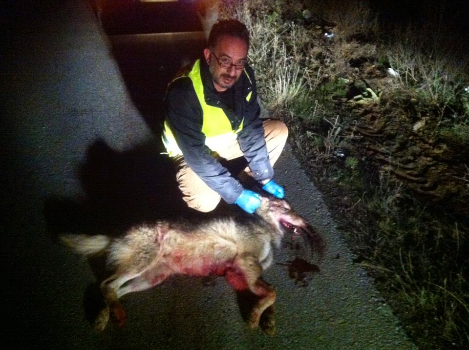 Καστοριά: Τροχαίο με θύμα λύκο στην Κολοκυνθού – Φόβοι για λύσσα (φωτο)