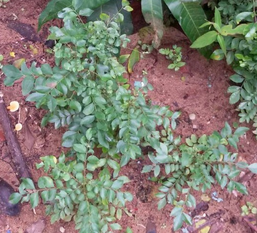 Curry Leaves (Kadi Patta) Cure the Wounds Fast