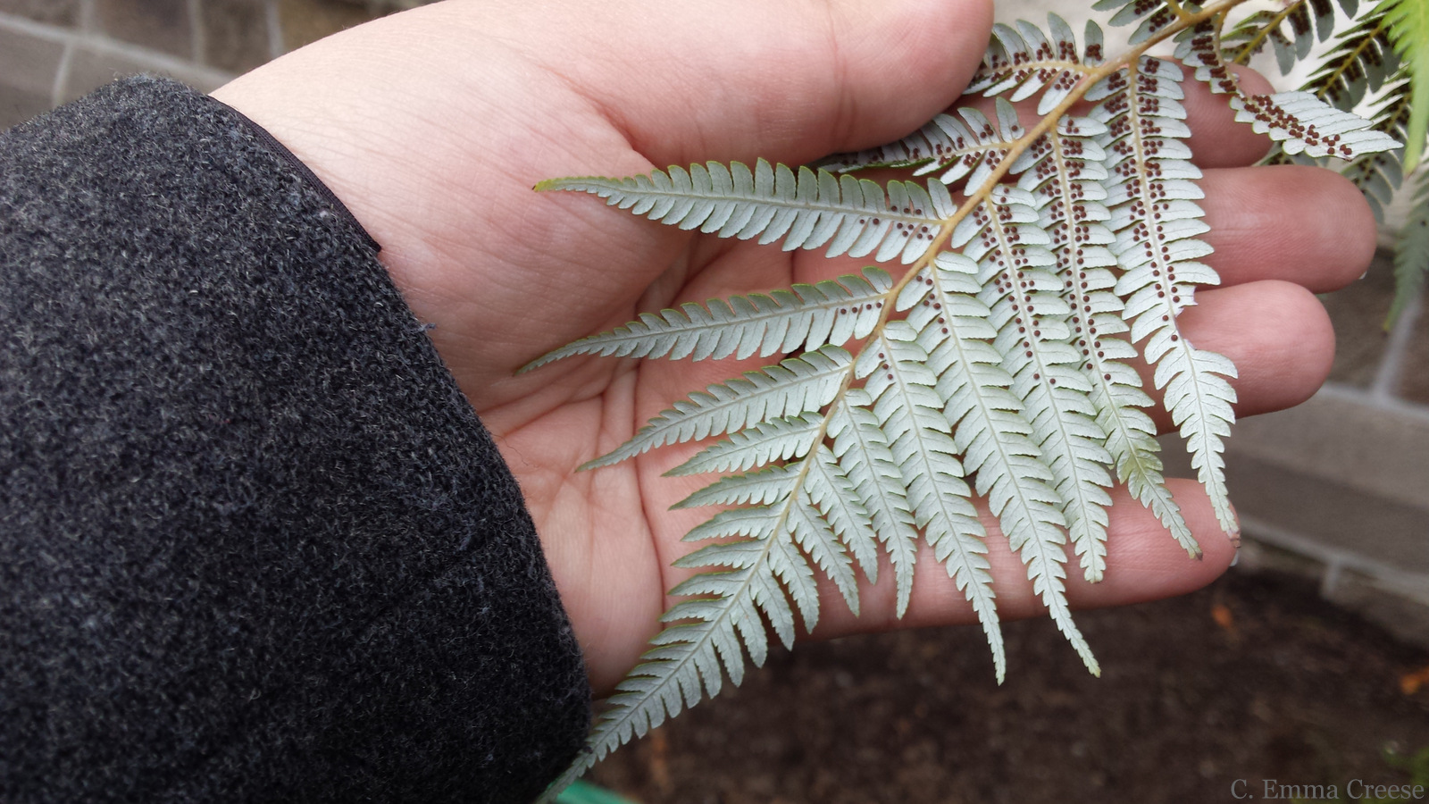 Christchurch Botanic Gardens Silver Fern, New Zealand