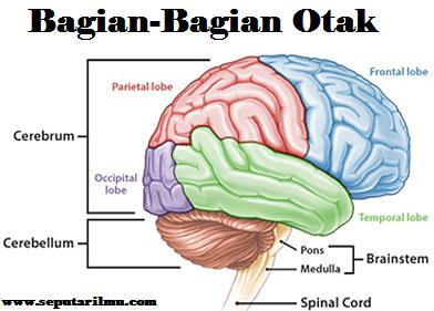 Pengertian, Bagian-Bagian Otak Beserta 9 Fungsinya Menurut Para Ahli Biologi Secara Lengkap