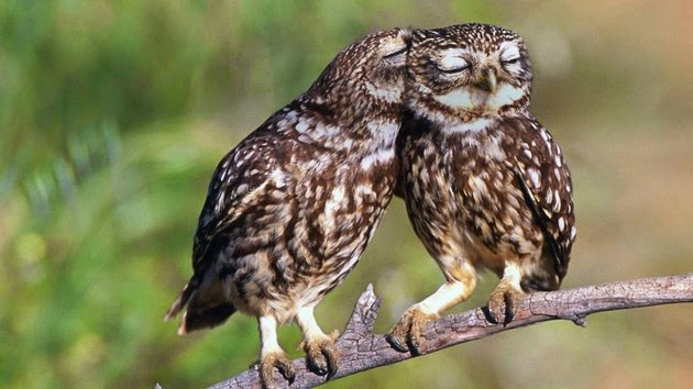 owls facts, owls picture
