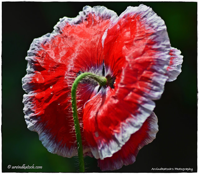 Other, Side, Beautiful, Backside, View, Red Flower, White Border,