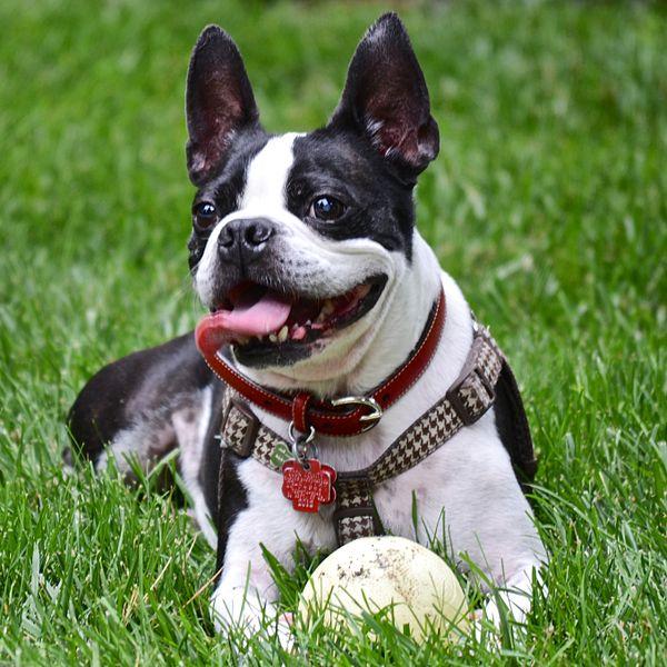 boston-terrier-list-trend