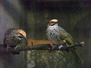 Burung Cucak Rowo - Ciri-Ciri Cara Membedakan Burung Cucak Rowo Jantan dan Betina - Penangkaran Burung Cucak Rowo