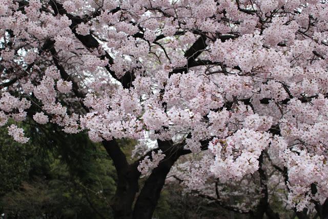 Ohanami, les cerisiers en fleur du parc de Shinjuku - Tokyo, Japon