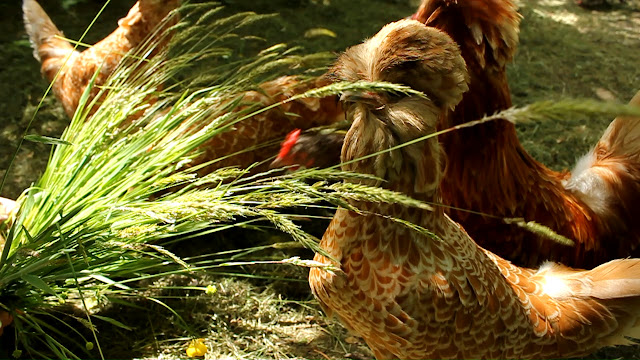 Organically raised Polish chickens Forest Garden