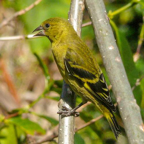 Birds World - Image of Hooded siskin female - Spinus magellanicus