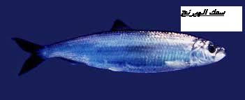 سمك الهيرنج