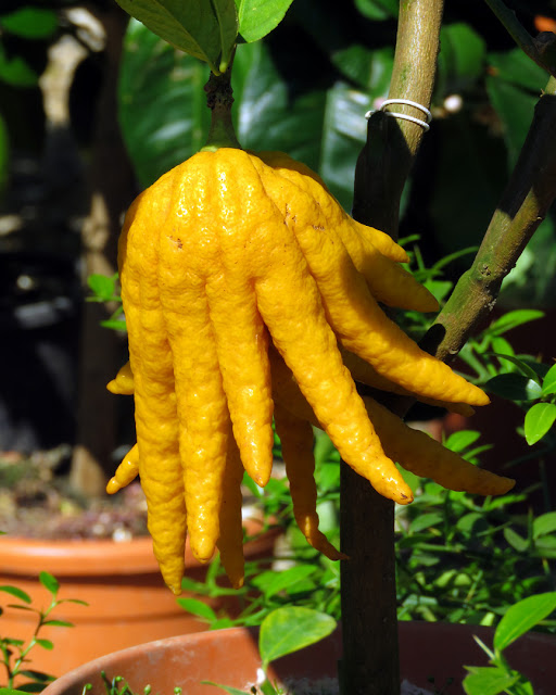 Buddha's hand, fingered citron, at a spring trade show, Giardino dell'Orticultura (Horticultural Garden), Via Bolognese, Florence