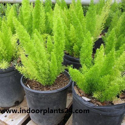 Asparagus densiflorus plant