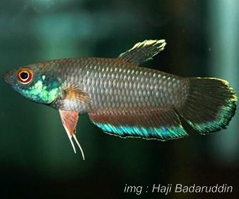 Jenis Ikan Cupang Spesies Betta Taeniata