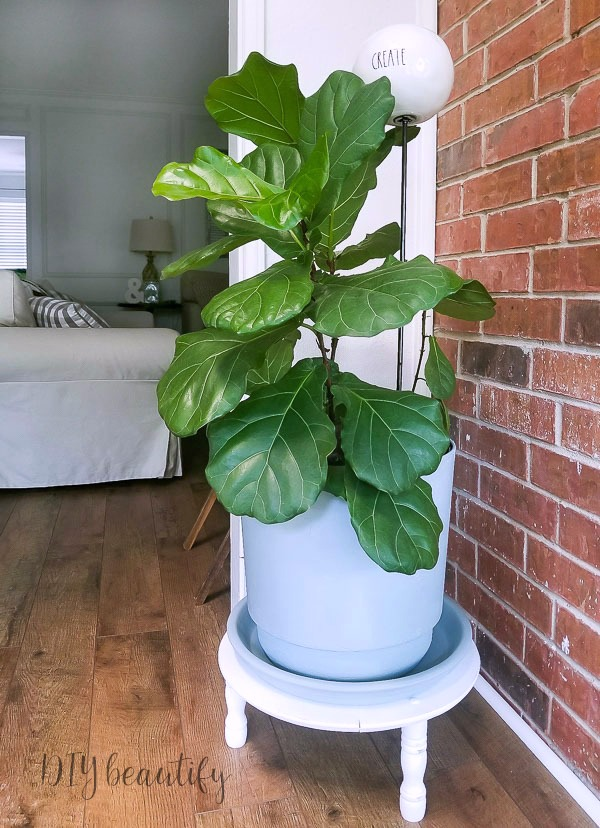 cottage planter fiddle leaf