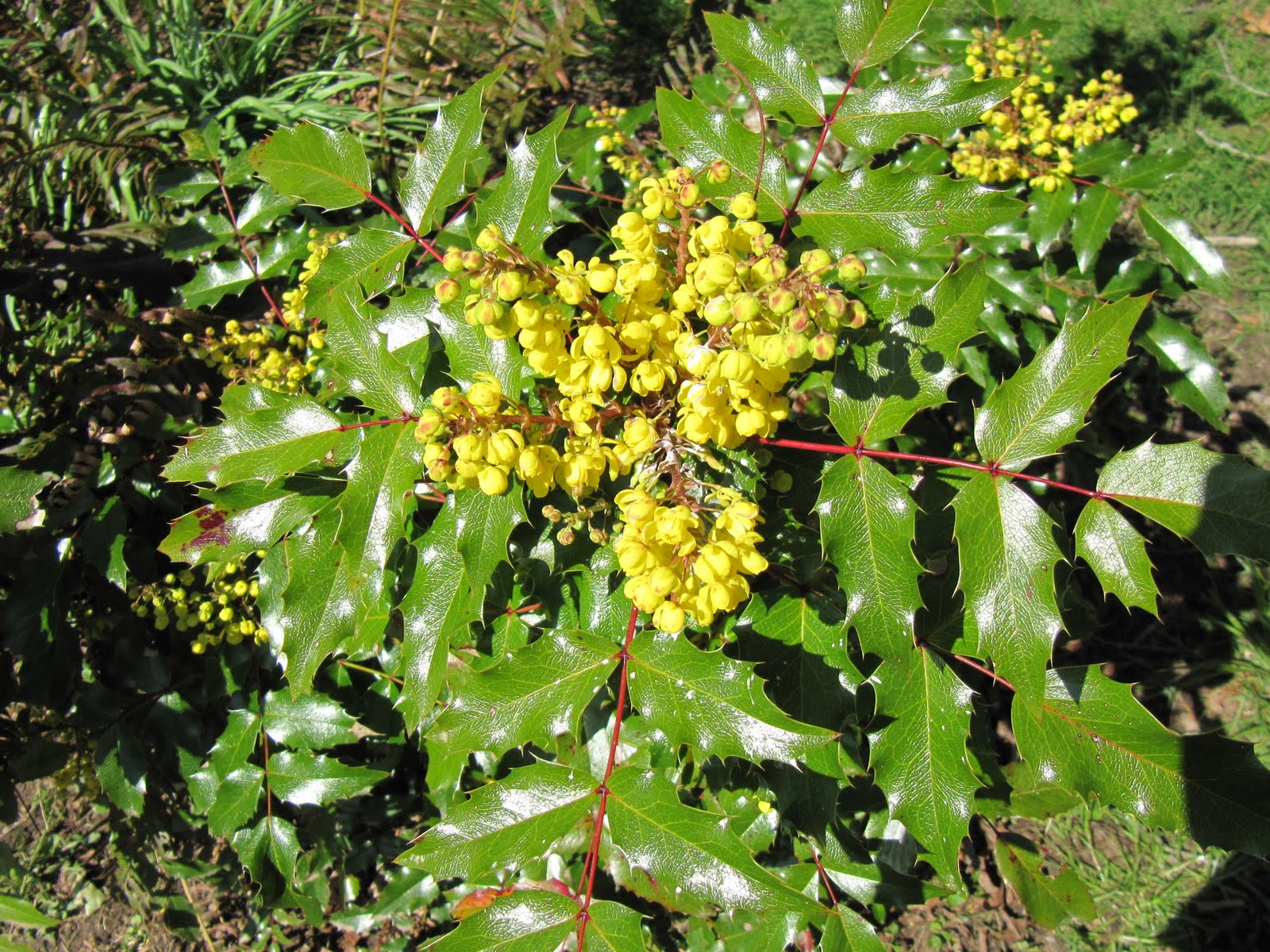 Teresa kasner oregon grape mystery flower corn dishes the leaves are so much like a holly but these stay in shrub size and in spring have these bright yellow flower clusters mightylinksfo