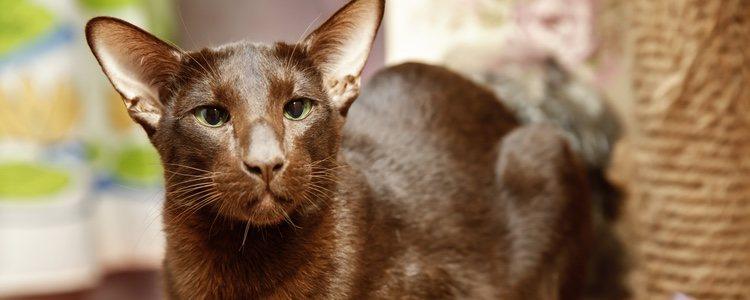 HAVANA CAT - Best Cat Breeds