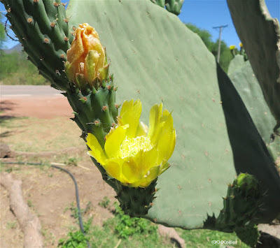 prickly pear flower seen in Argentina