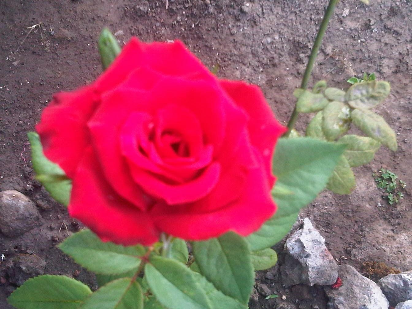 Download Gambar Wallpaper Bunga Mawar