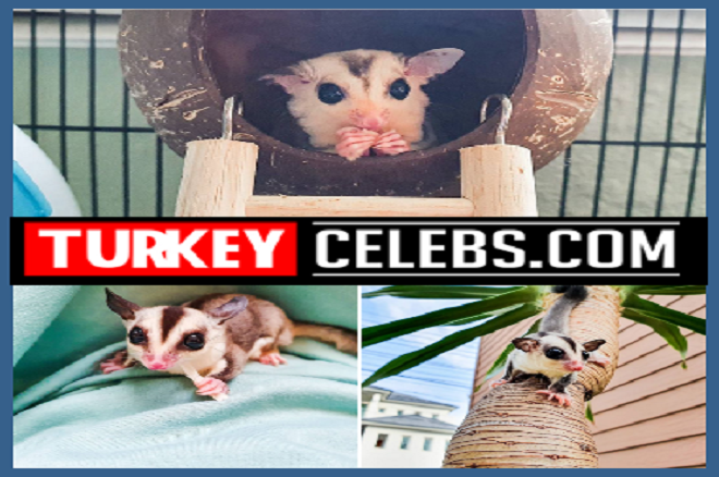 The sugar glider The sugar petauro,nocturnal gliding possum,feeds on the sweet juice,types of eucalyptus and acacias,the marsupial infra class,nectar and plant fruits,similar habits and appearance,small mammal of the marsupial,a popular exotic pet,kajben , animal Lumbalk