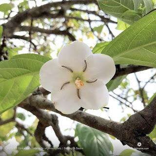 ตะลุมพุก (พุดระฆังเงิน) ไม้ดอกหอมของไทย ดอกสีขาวสวยงาม มีกลิ่นหอมอ่อน