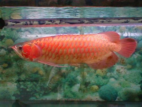 Cách nuôi cá cảnh theo phong thủy mang lại may mắn và tài vượng