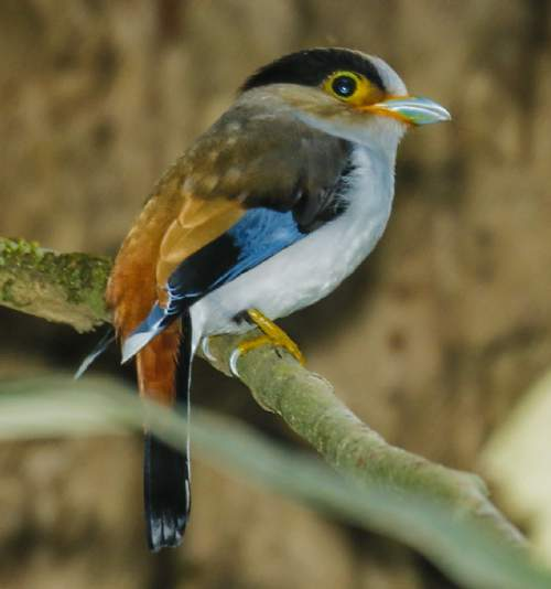Indian birds - Image of Silver-breasted broadbill - Serilophus lunatus