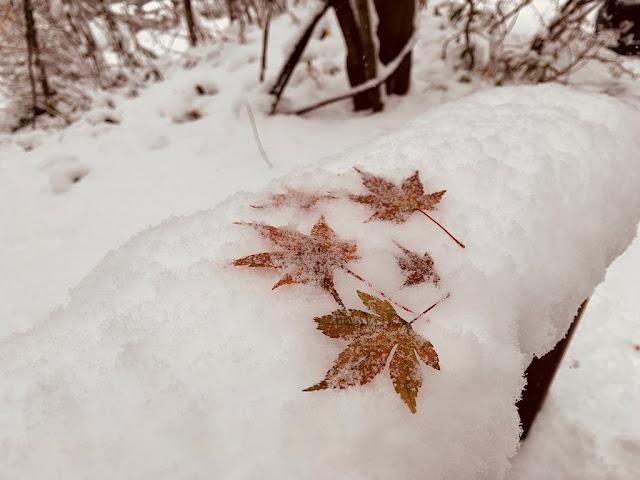 欄杆上結冰的楓葉