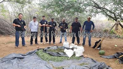 SANTA CRUZ DA VENERADA-PE: Polícia Civil erradica grande plantação de maconha