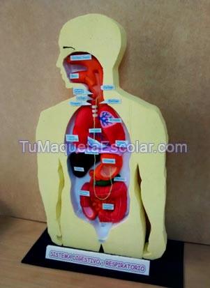 sistema digestivo y respiratorio humano