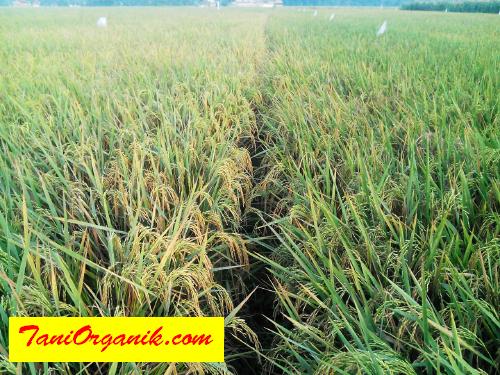 Hamparan padi yang sehat dan subur dengan konsep pertanian padi organik BMW