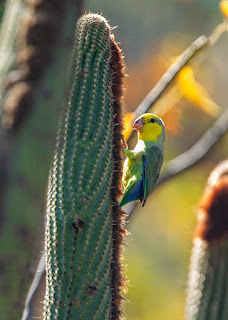 Yellow-faced Parrotlet - Green Tours Peru