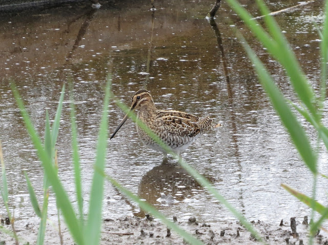 Common Snipe - Higher Moors, Scilly