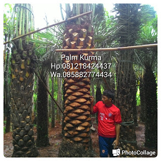 Tukang pohon pelindung menjual pohon palm korma dengan harga paling murah, bergaransi serta tukang tanam tanaman kurma yang berpengalaman cocok di tanam