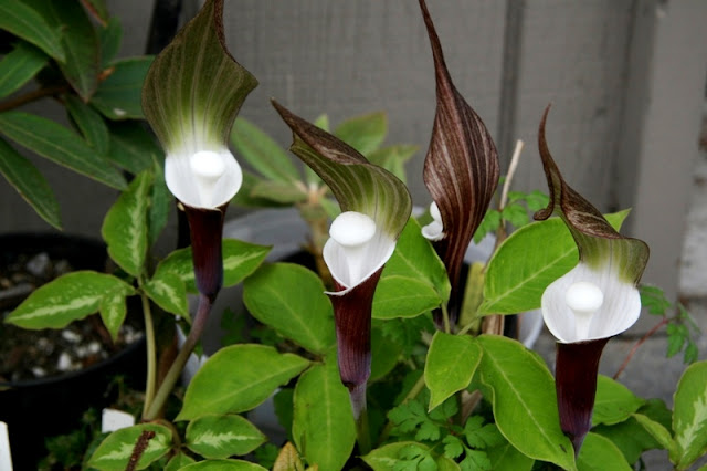 The Japanese Jack-in-the-pulpit (Arisaema sikokianum)