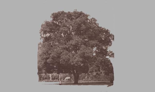 alter großer Lindenbaum