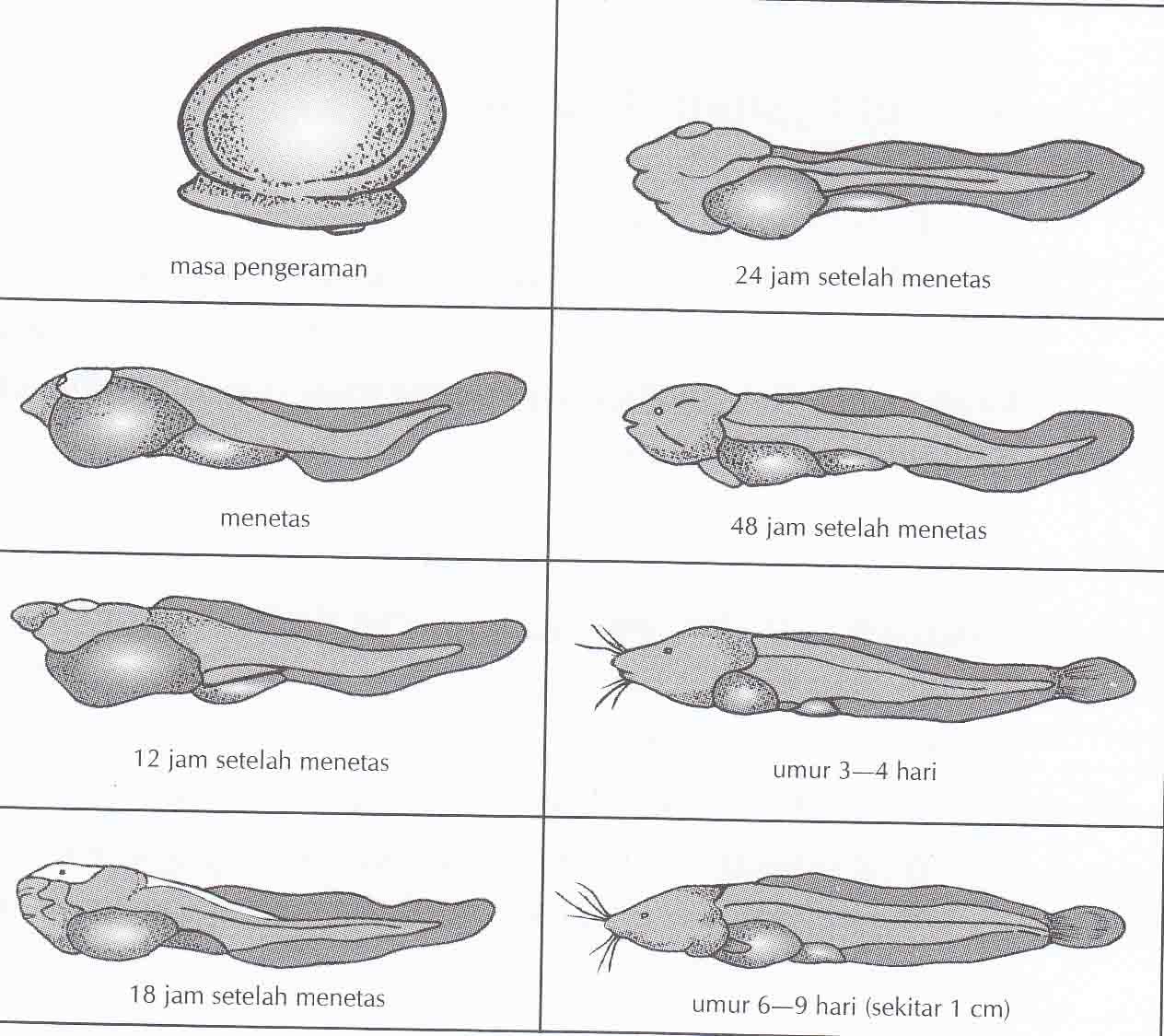 Cara Menetaskan Telur Ikan Lele Hasil Pemijahan Tutorial Cara Budidaya