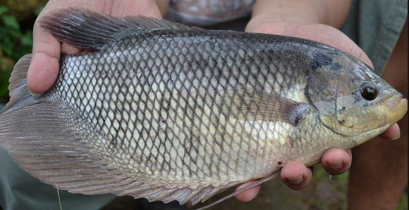 Analisa Peluang Usaha Budidaya Ikan Gurami Yang Menjanjikan