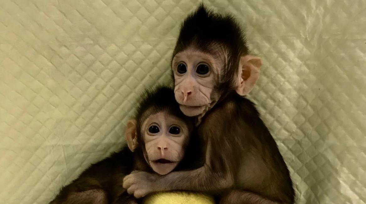 Zhong Zhong e Hua Hua, le prime due scimmie clonate con la tecnica della pecora Dolly
