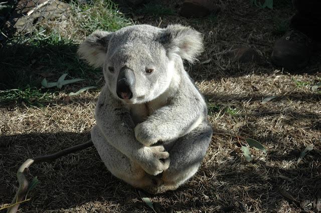 grey-koala-bear
