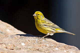 14 Fakta Menarik Mengenai Burung Kenari yang Perlu Kamu Tahu